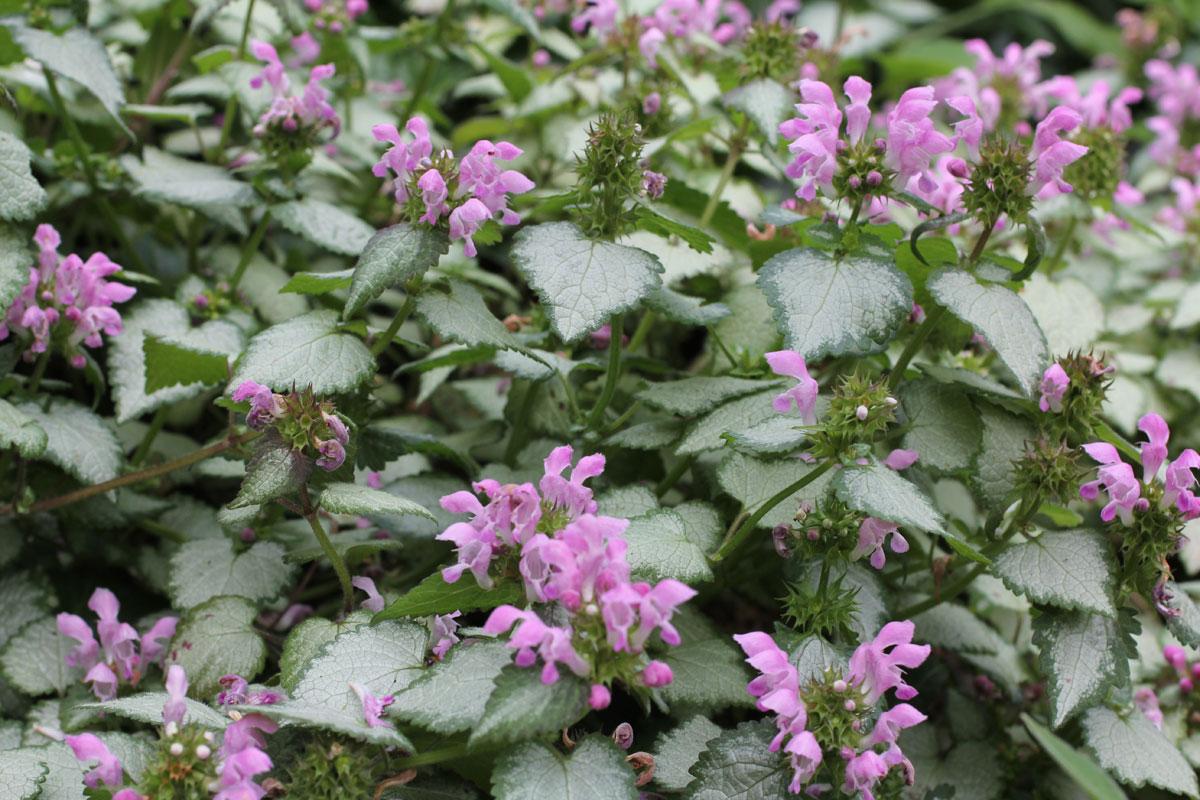 "Lamium maculatum ""Pink Chablis/Pink Pewter"""