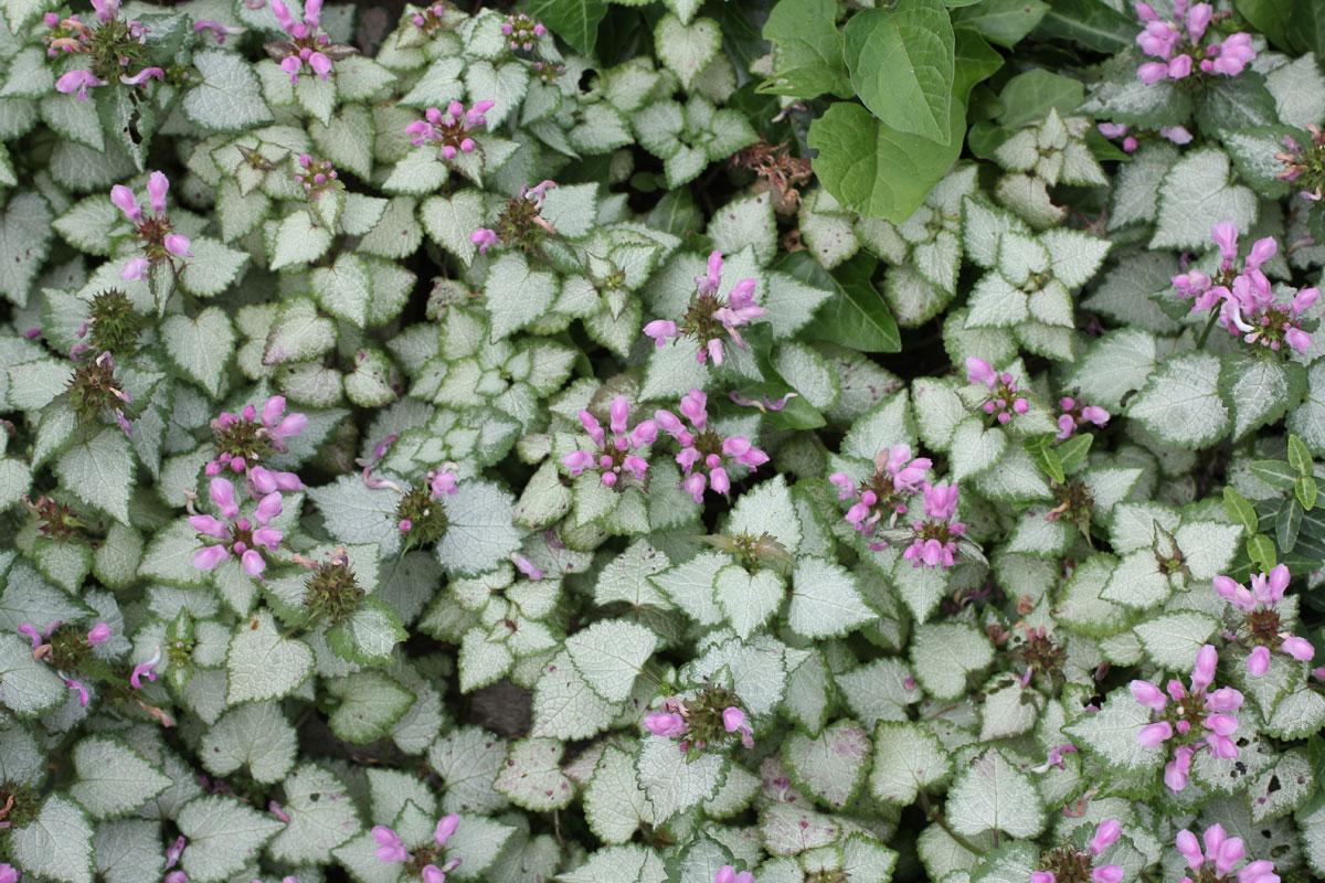 Lamium maculatum