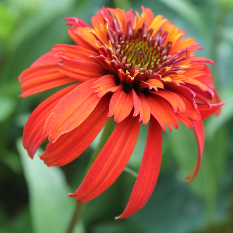 Echinacea Hot Papaya