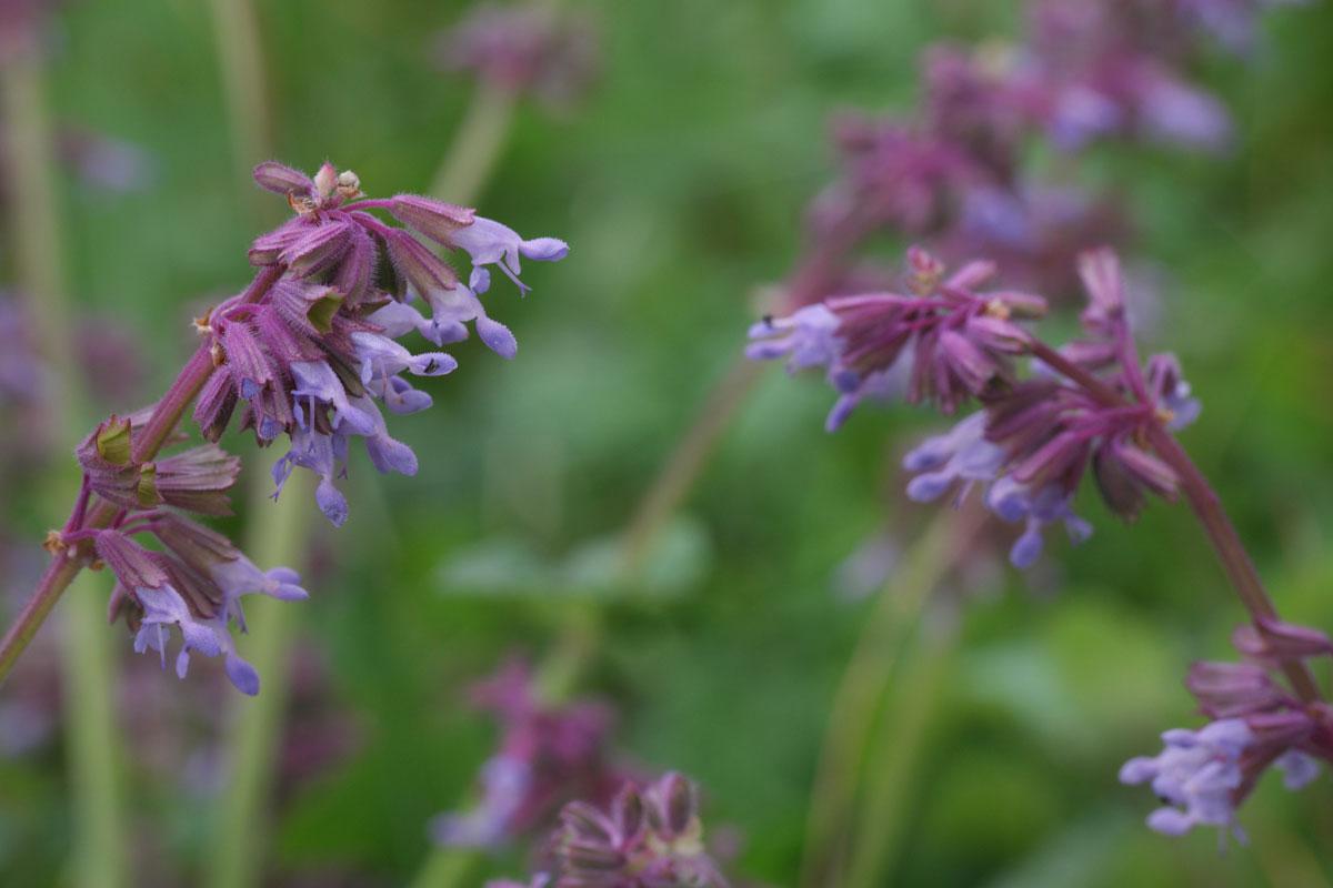 Lilac Sage