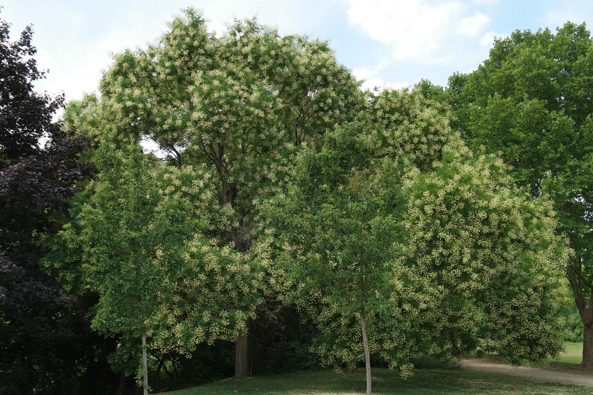 Styphnolobium japonicum