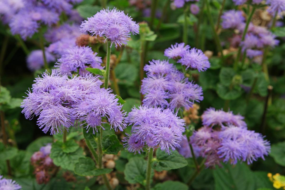 blau blühende pflanzen und blumen bestimmen, Garten Ideen