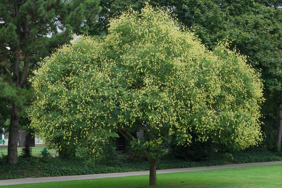 kinesträd