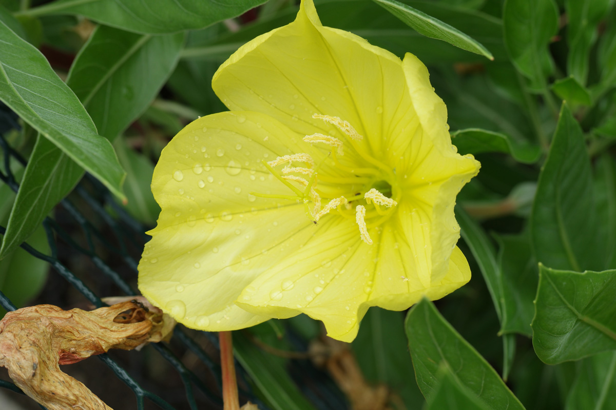 Oenothera macrocarpa