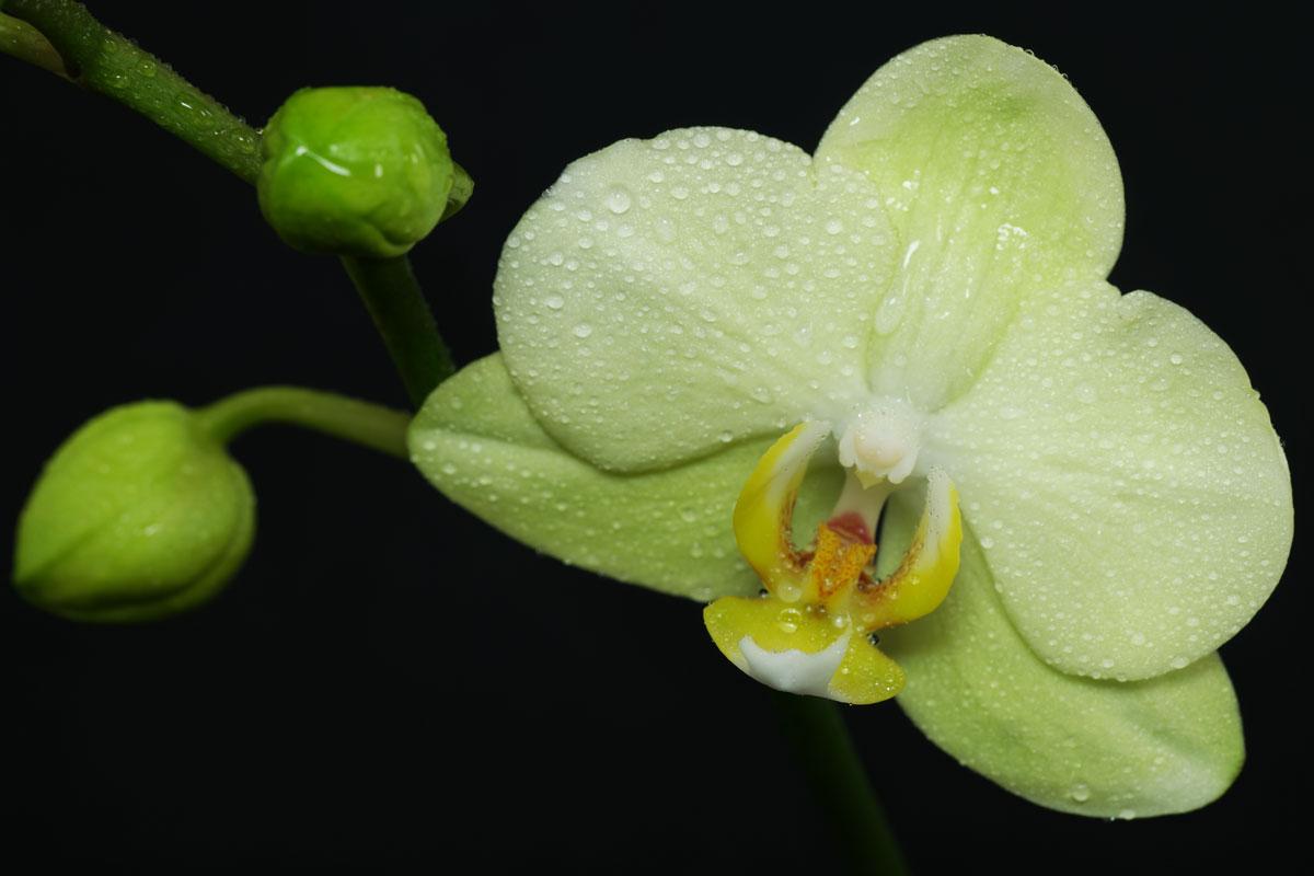 phalaenopsis cv