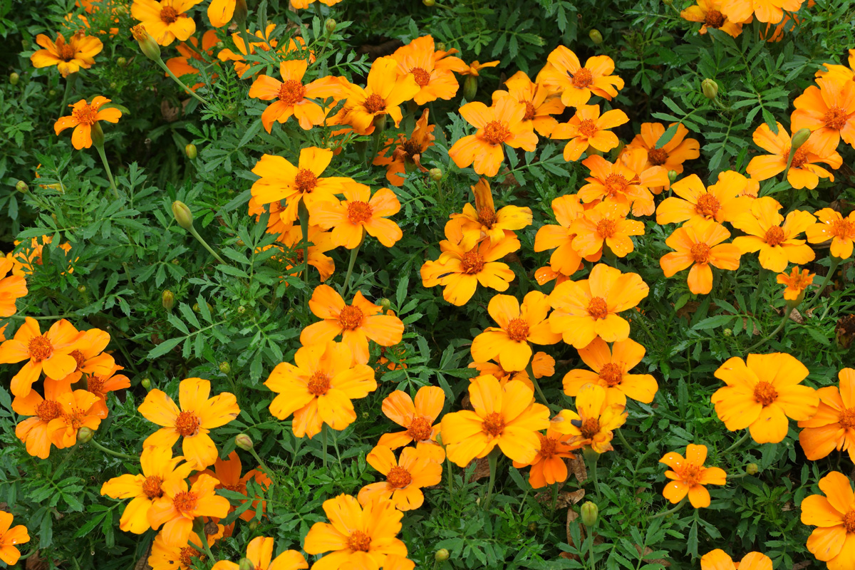 Tagetes Disco Orange