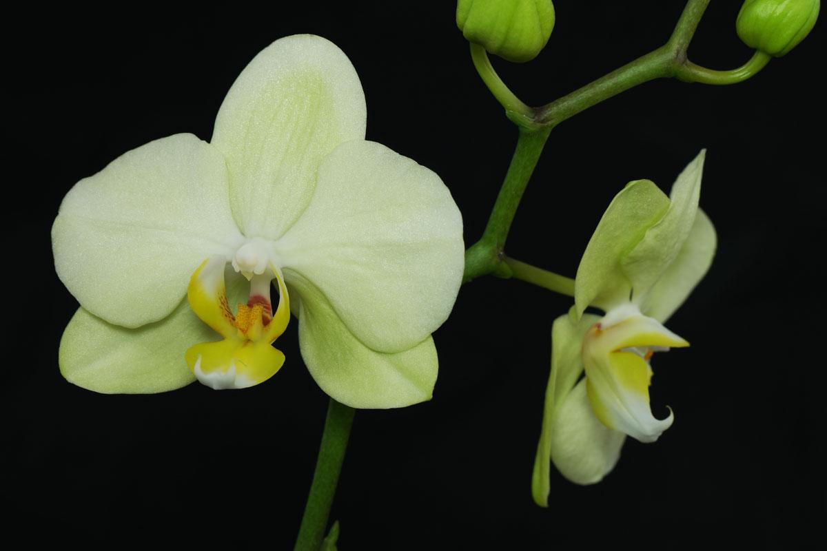 green-Phalaenopsis
