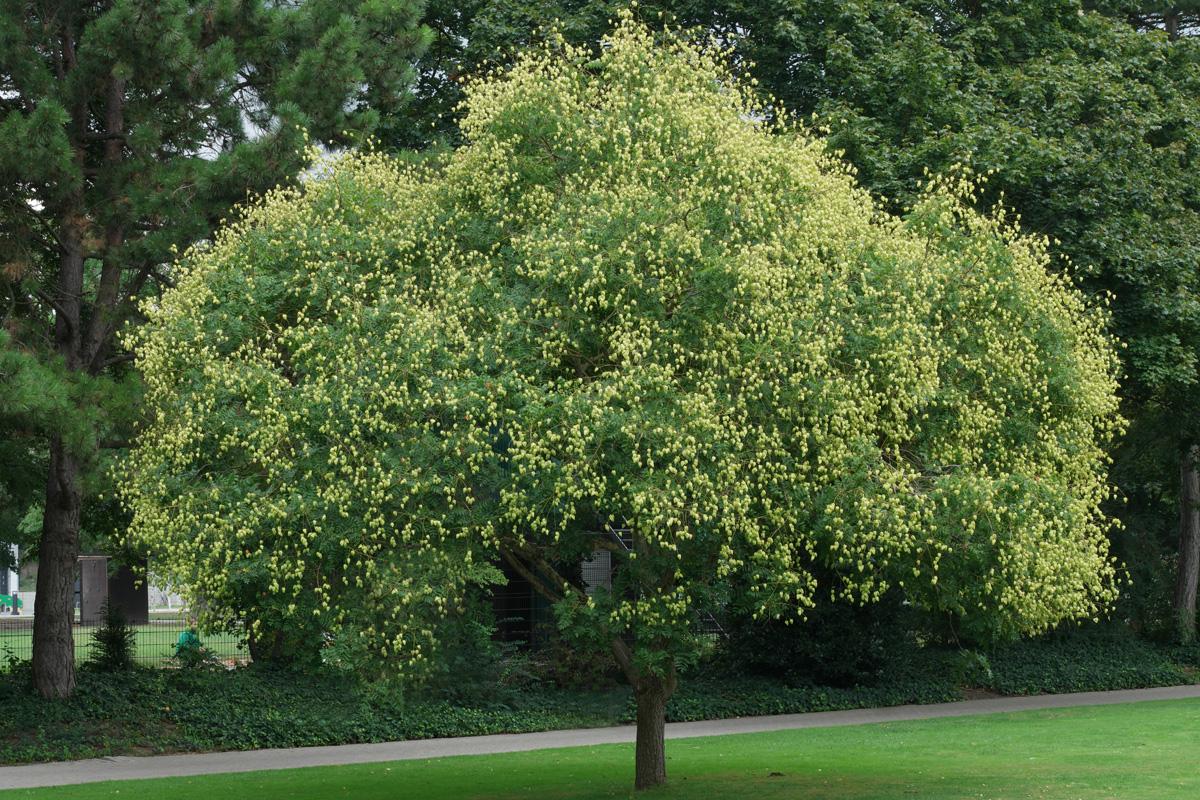 Albero dorato della pioggia