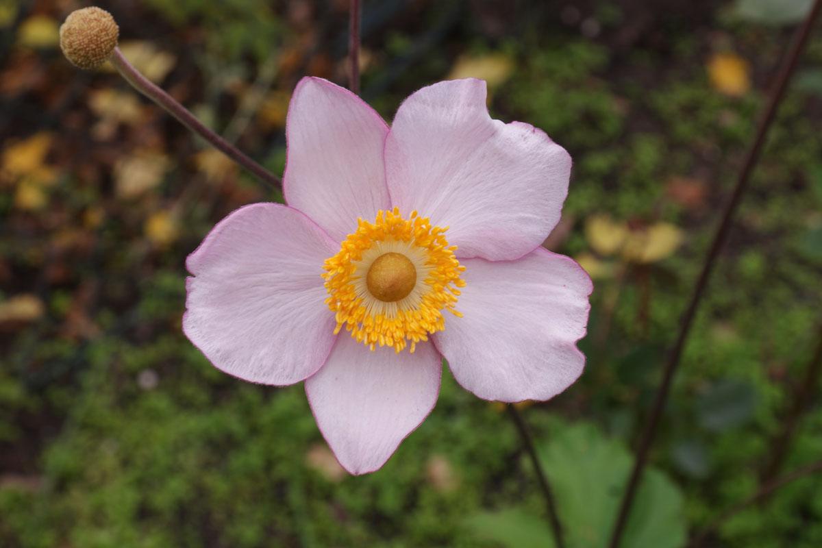 Anemone hupehensis Hadspen Abundance