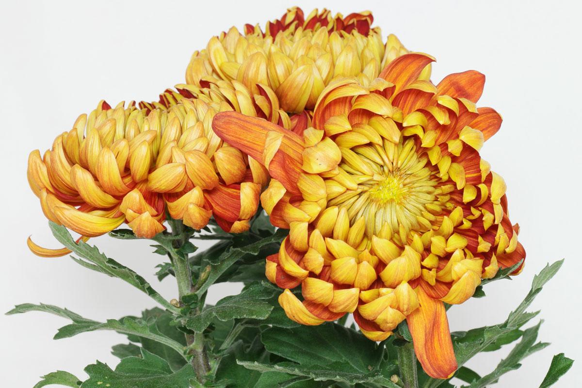 chrysanthemum cv. Black Bedroom Furniture Sets. Home Design Ideas