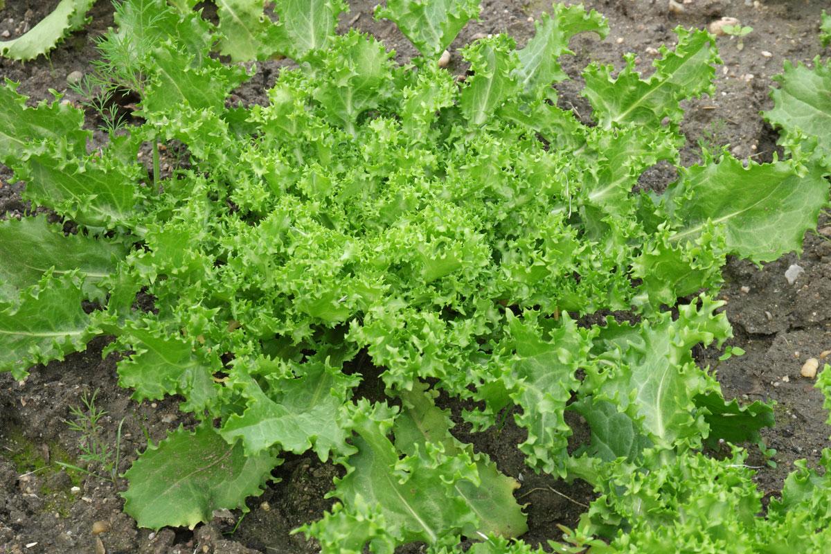 Cichorium endivia var crispum