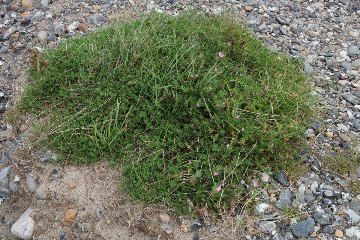 Ononis spinosa ssp procurrens