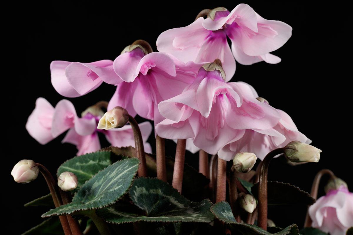 Cyclamen persicum Petticoat