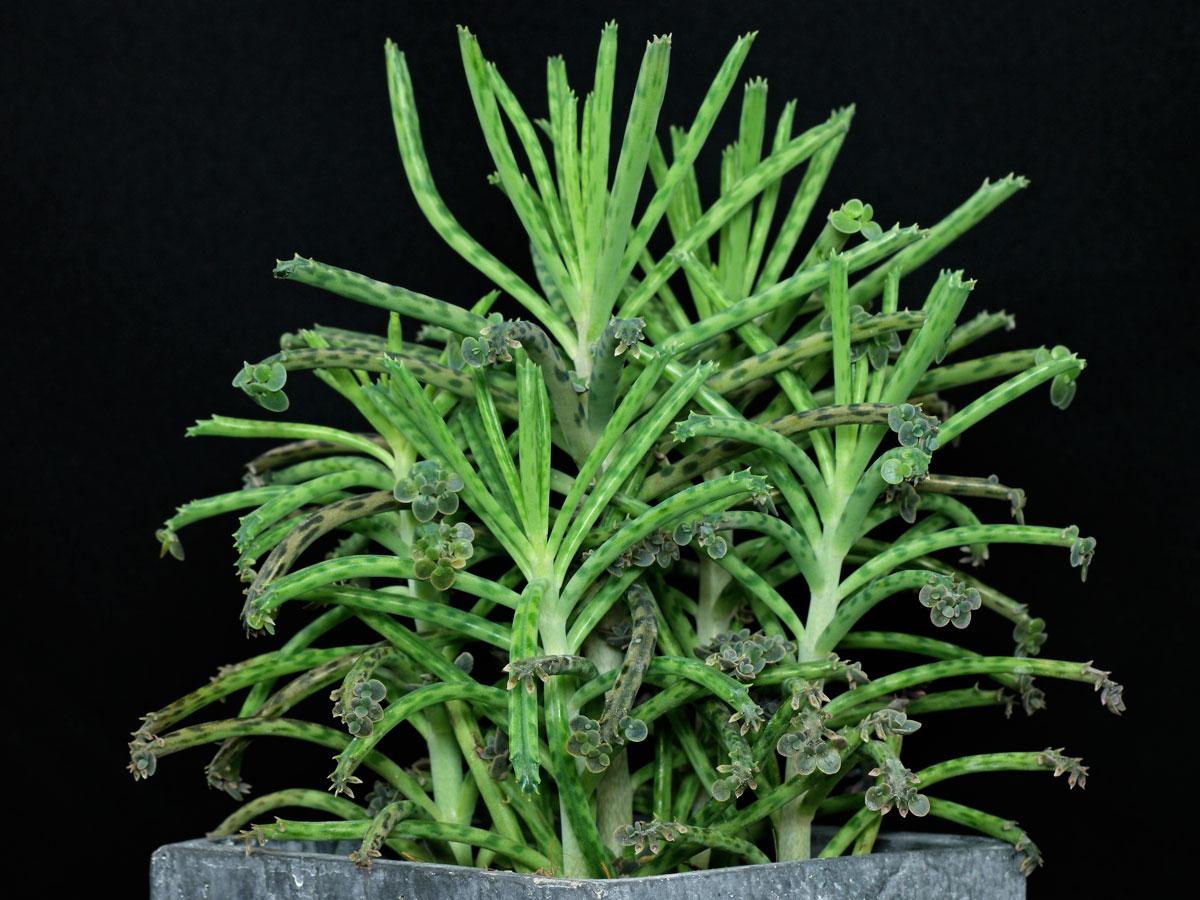 Kalanchoe delagoensis