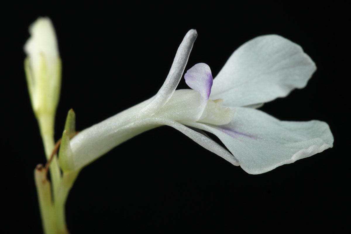 Maranta leuconeura Kerchoveana