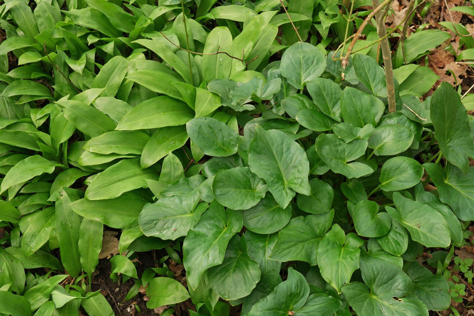 Allium-Arum