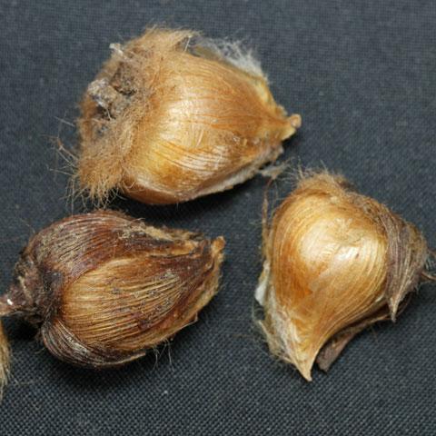 Oxalis-tetraphylla-480