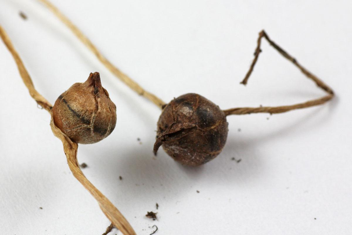 Pinellia ternata