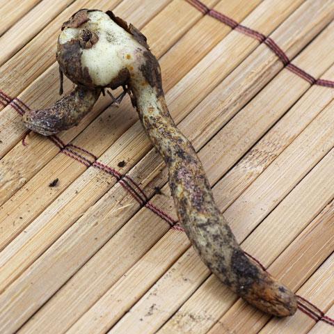 Sandersonia-aurantiaca-480