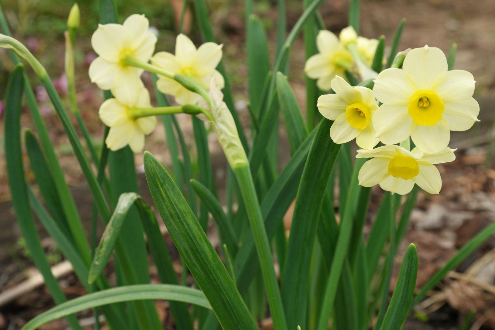 Narcissus tazetta Minnow