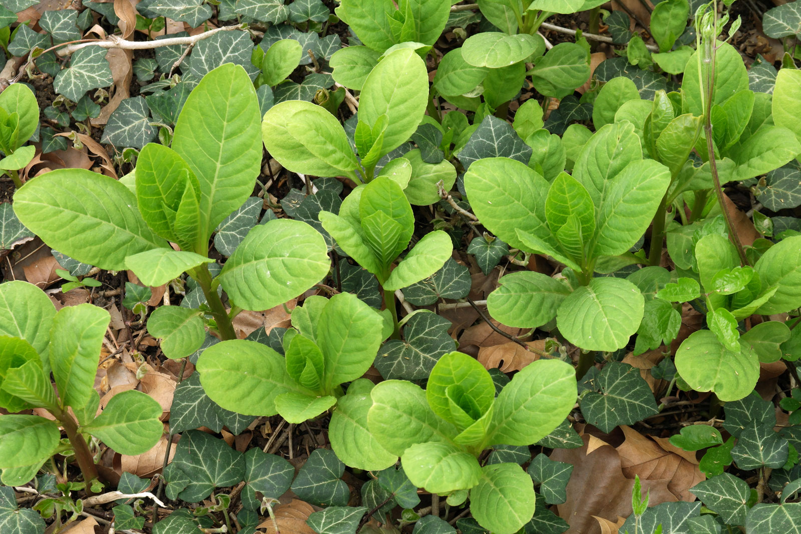 Phytolacca acinosa