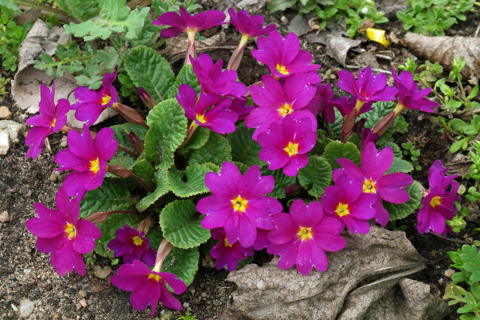 Primula juliae Ostergruß