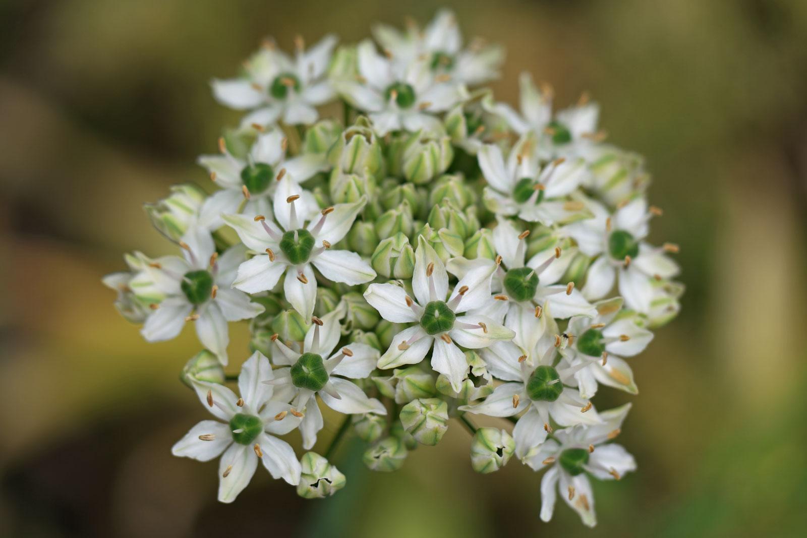 Allium nigrum