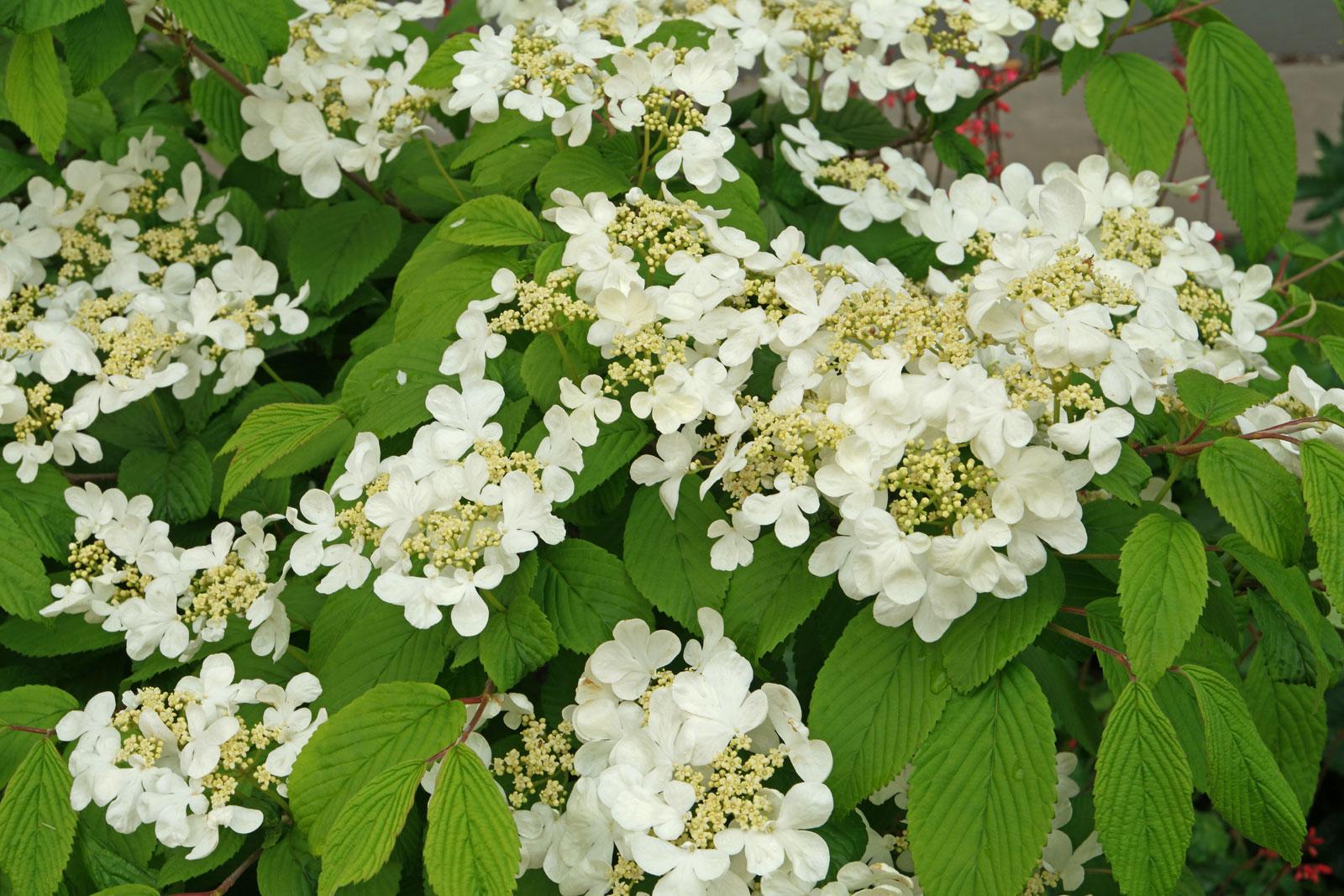 Viburnum plicatum