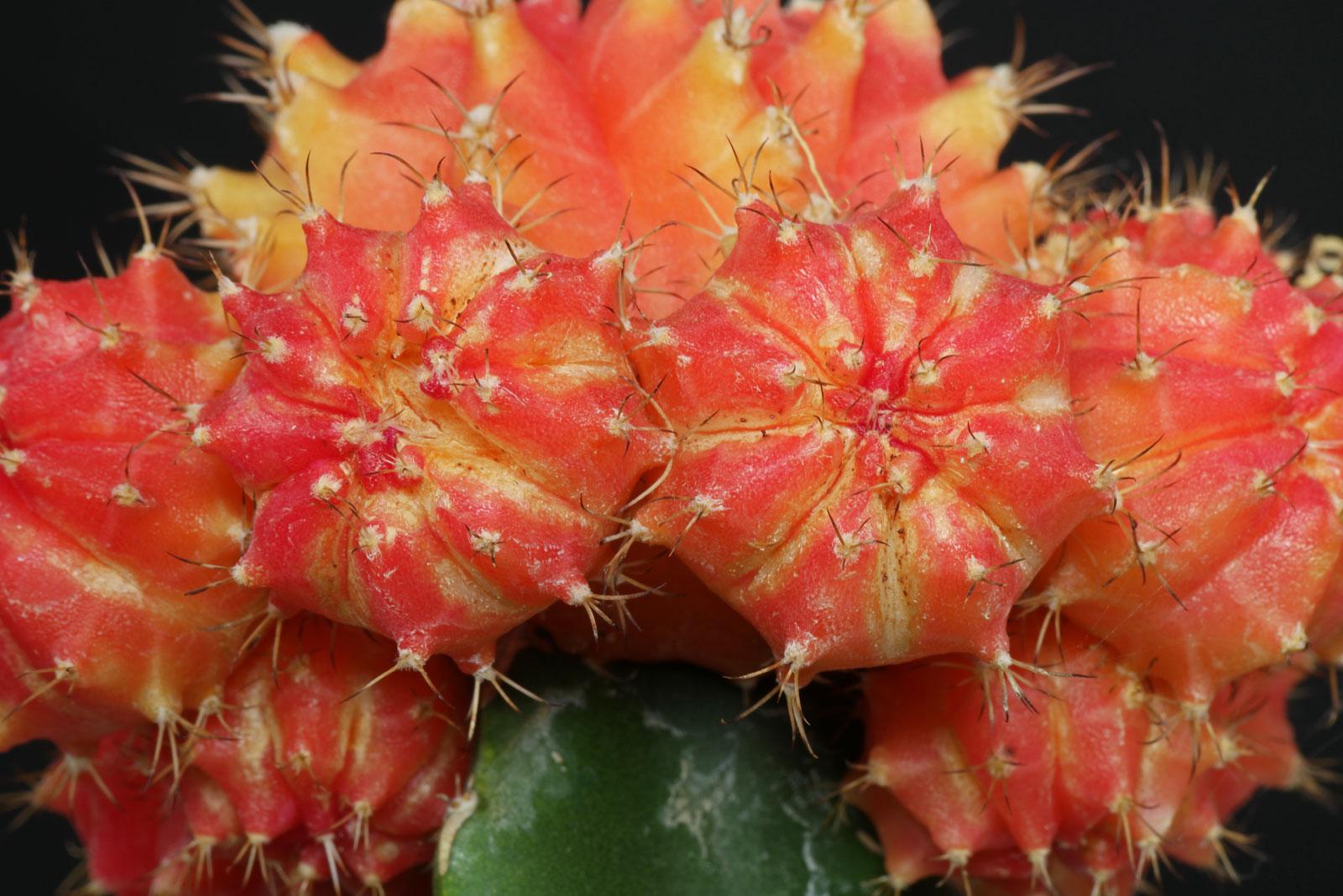 Gymnocalycium mihanovichii Hibotan Red