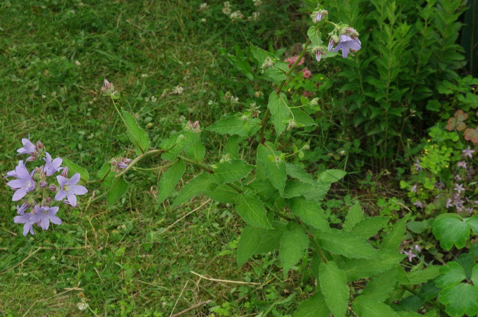 Campanula lactiflora Prichards Variety