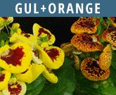 Gul-orange