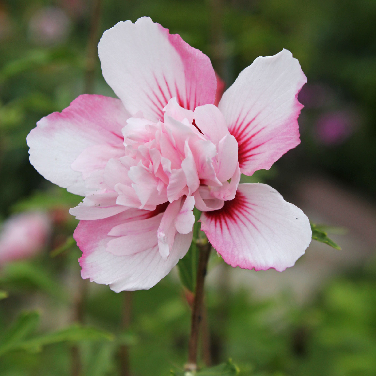 hibiscus syriacus related keywords suggestions. Black Bedroom Furniture Sets. Home Design Ideas