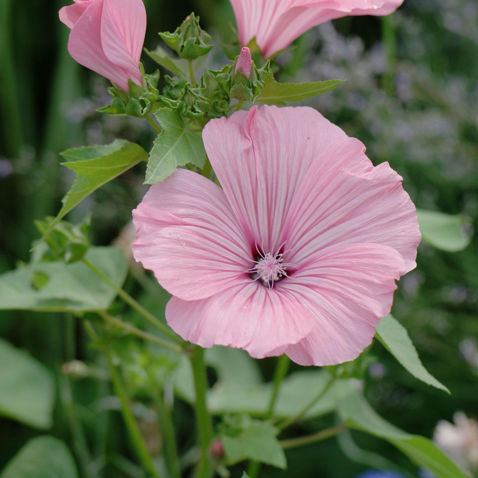 Lavatera trimestris cv