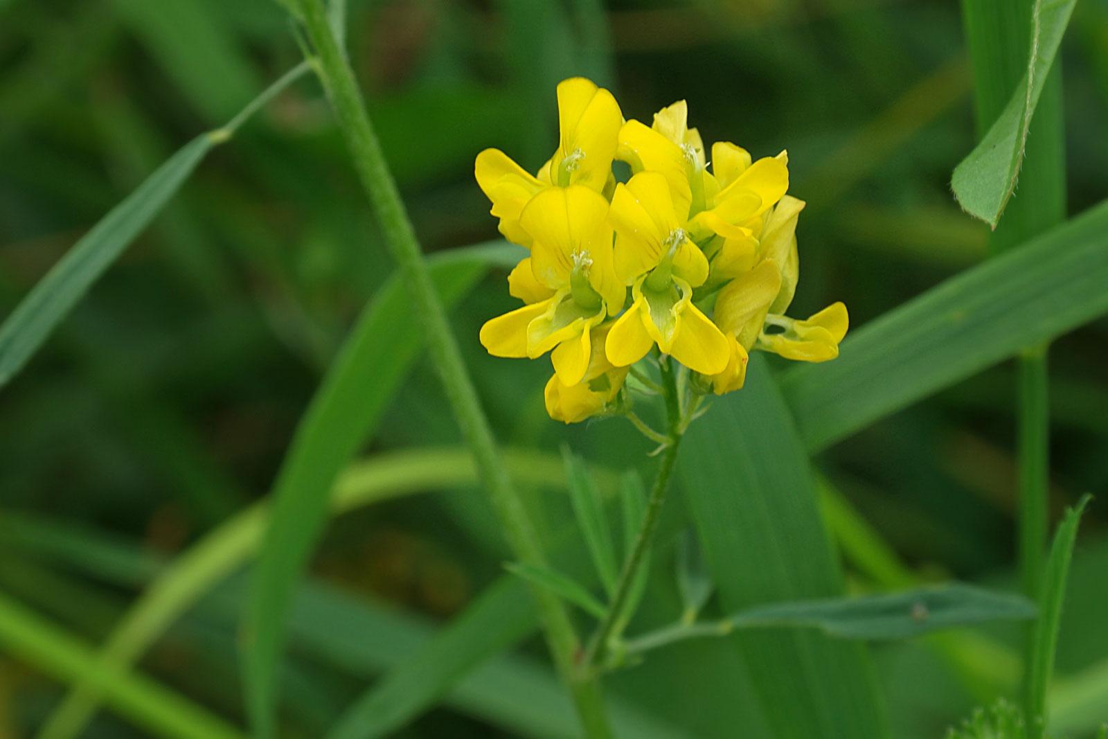 Medicago sativa ssp. falcata