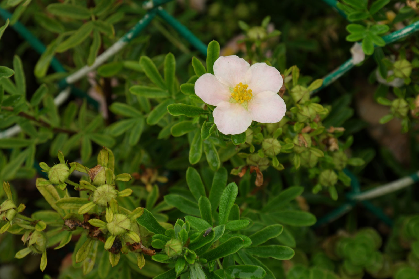 Dasiphora fruticosa Princess