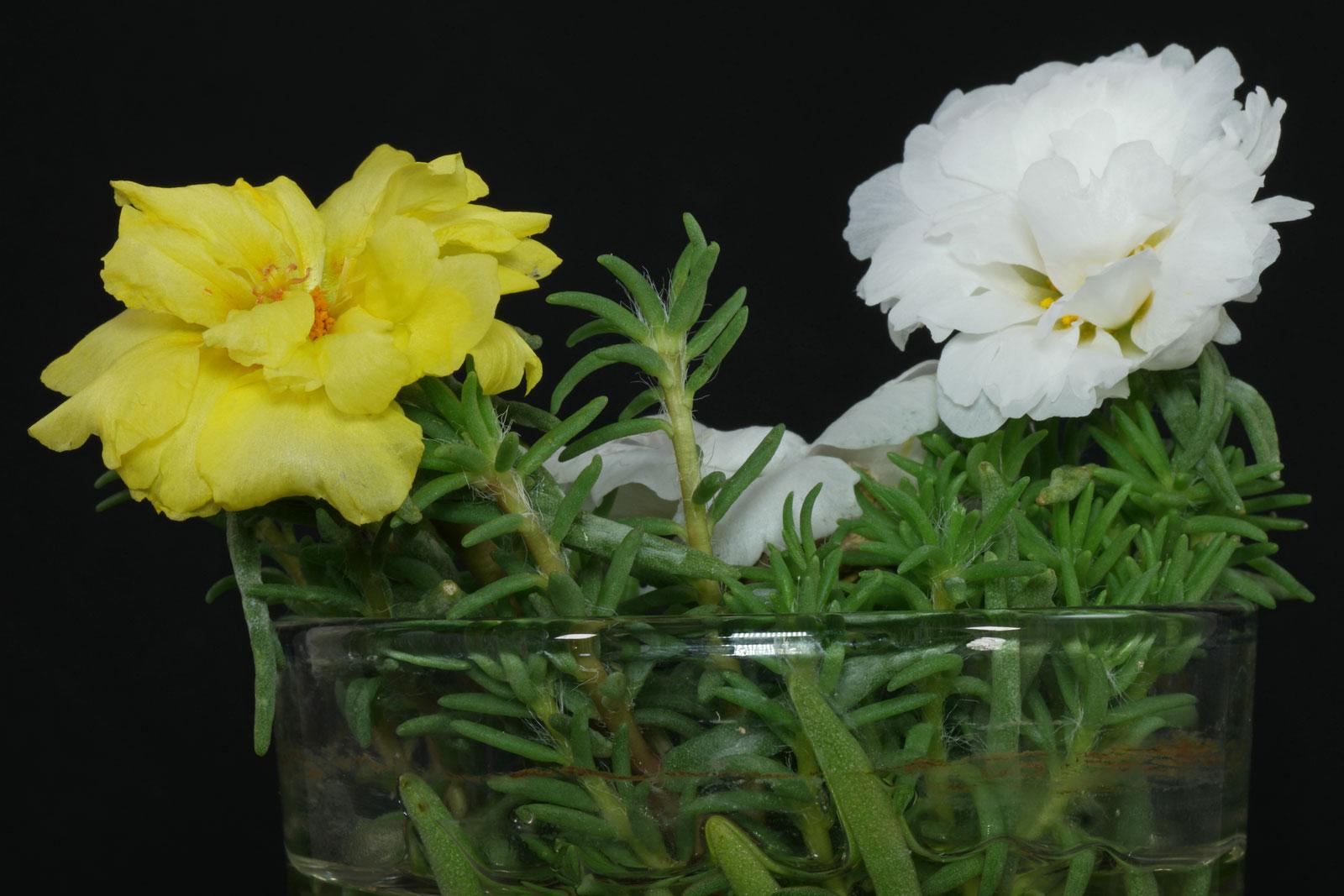 portulaca grandiflora cv