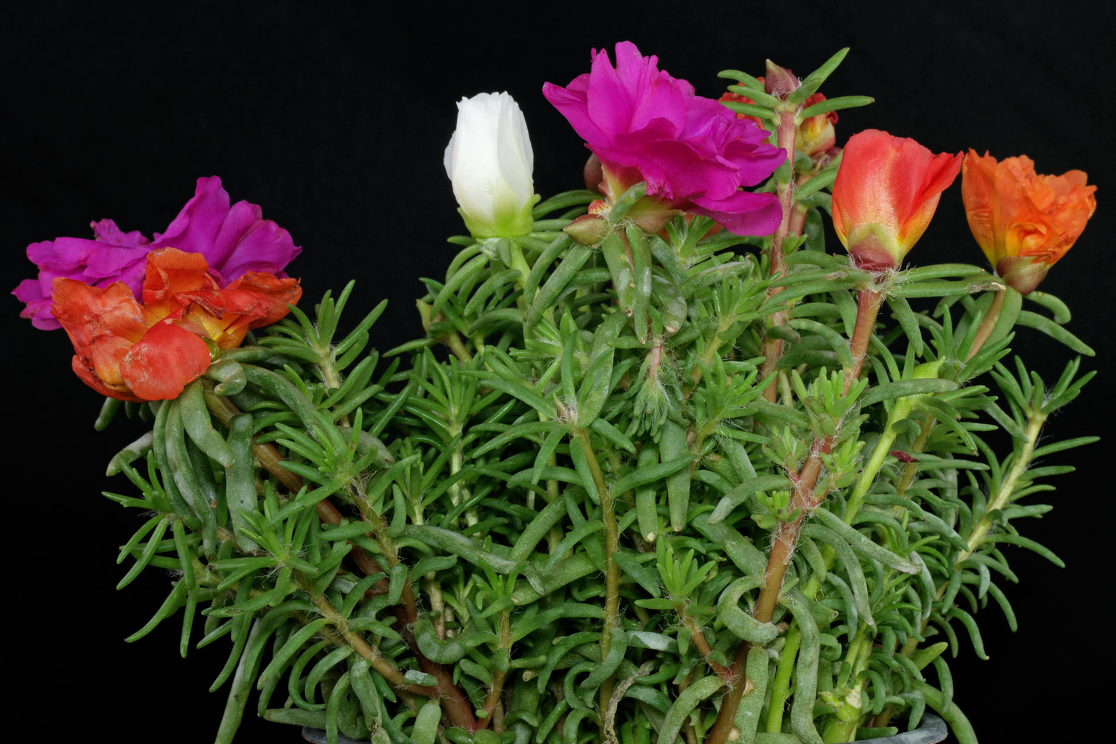 Портулак стелющийся выращивание 95