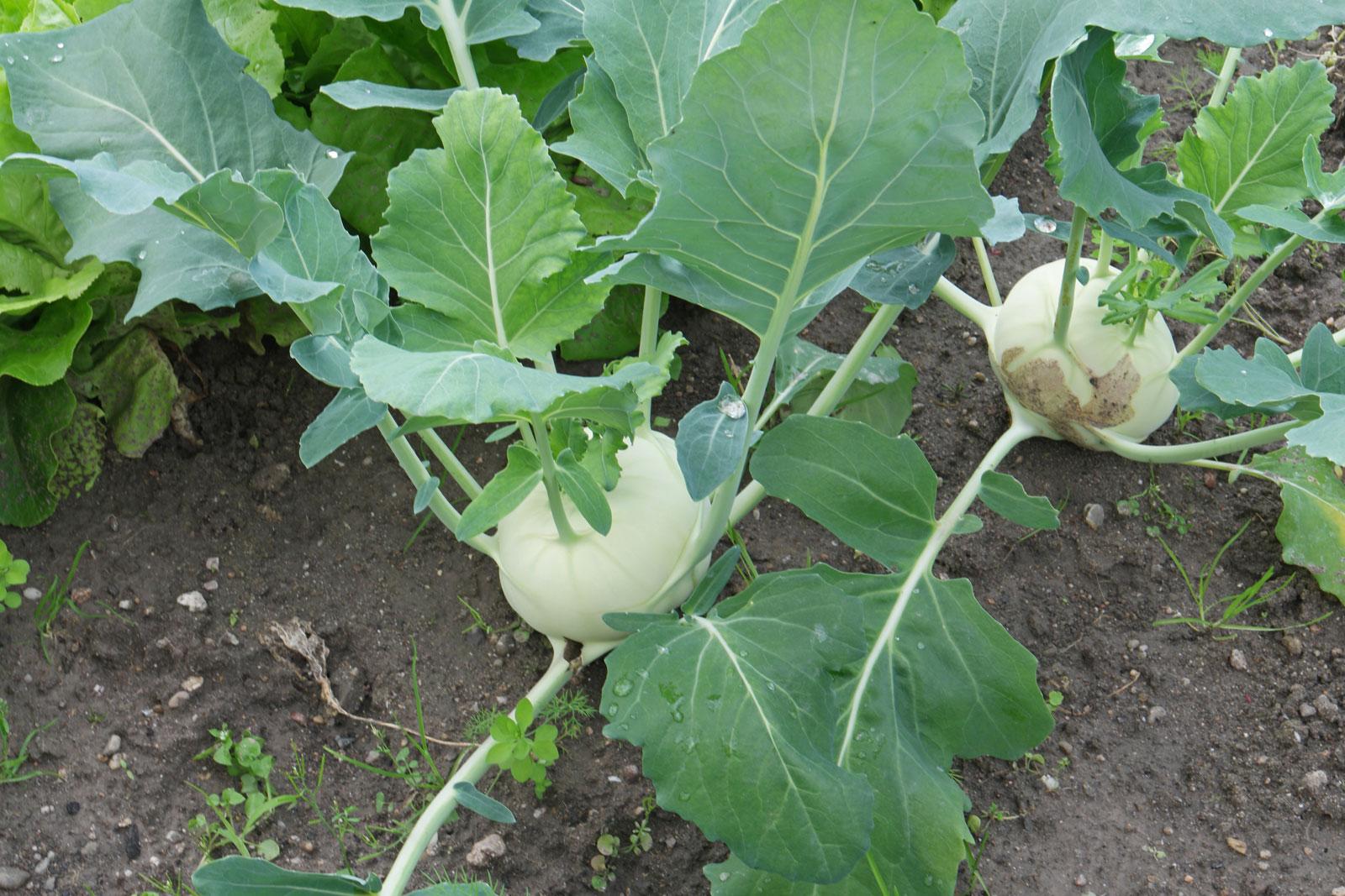 Brassica oleracea var gongylodes