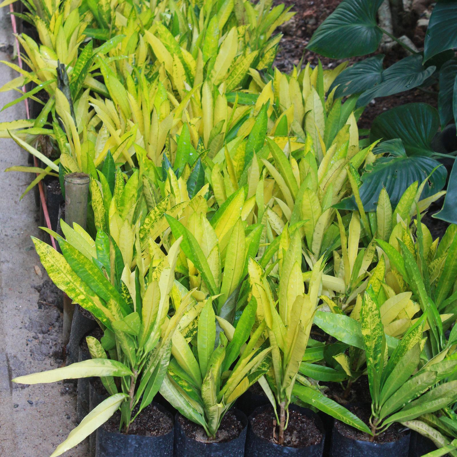 Codiaeum variegatum