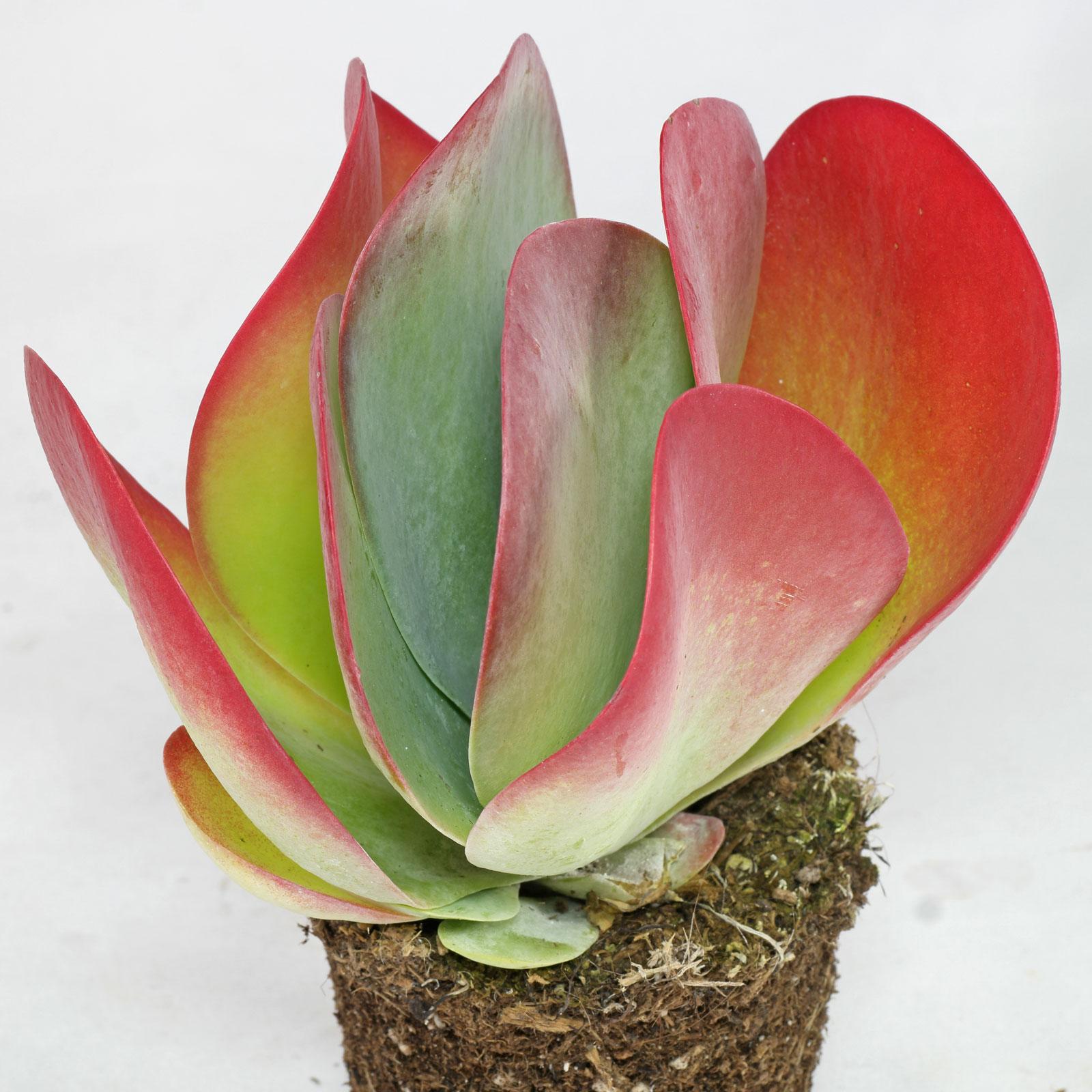 Kalanchoe thyrsiflora