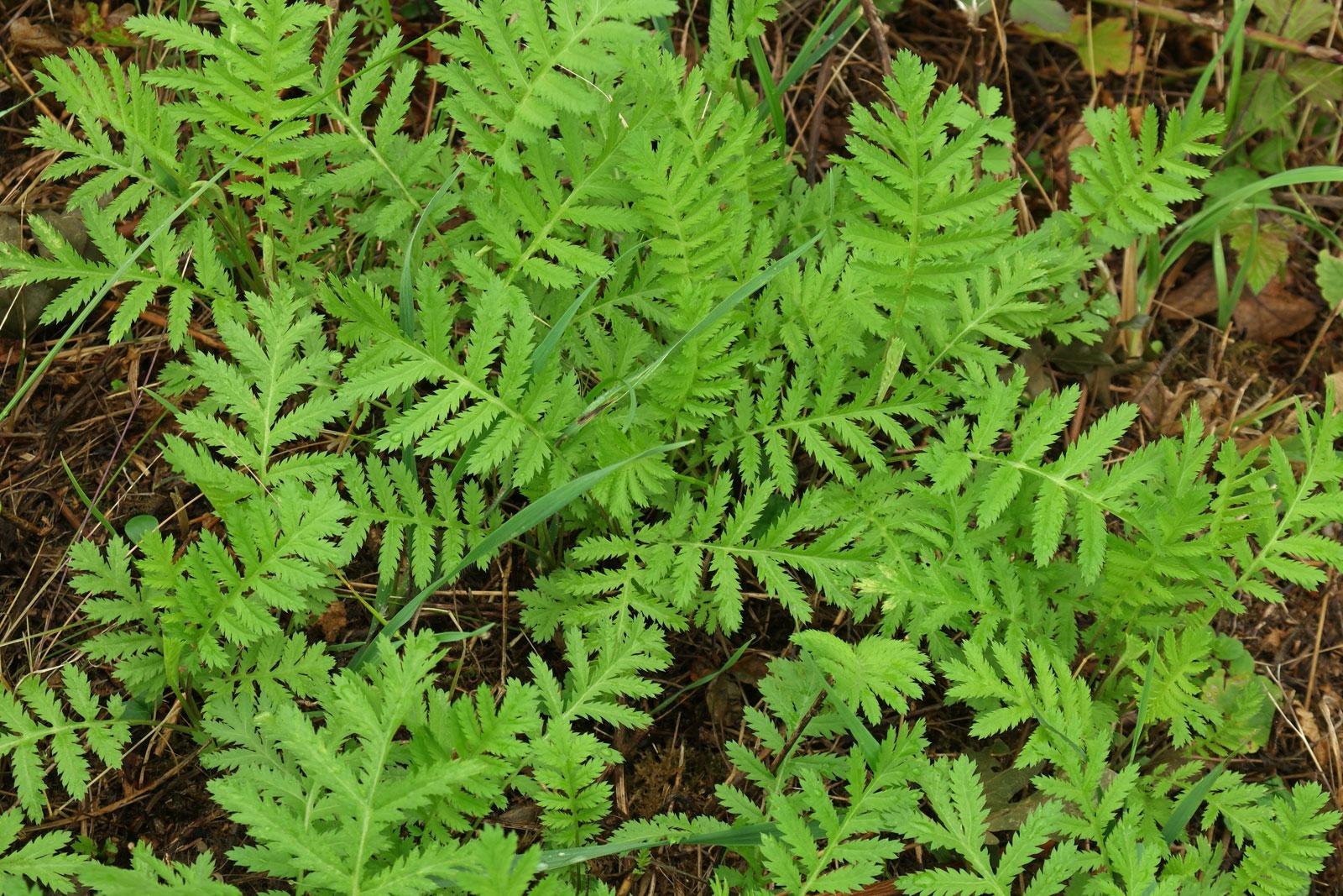 Tanacetum vulgare