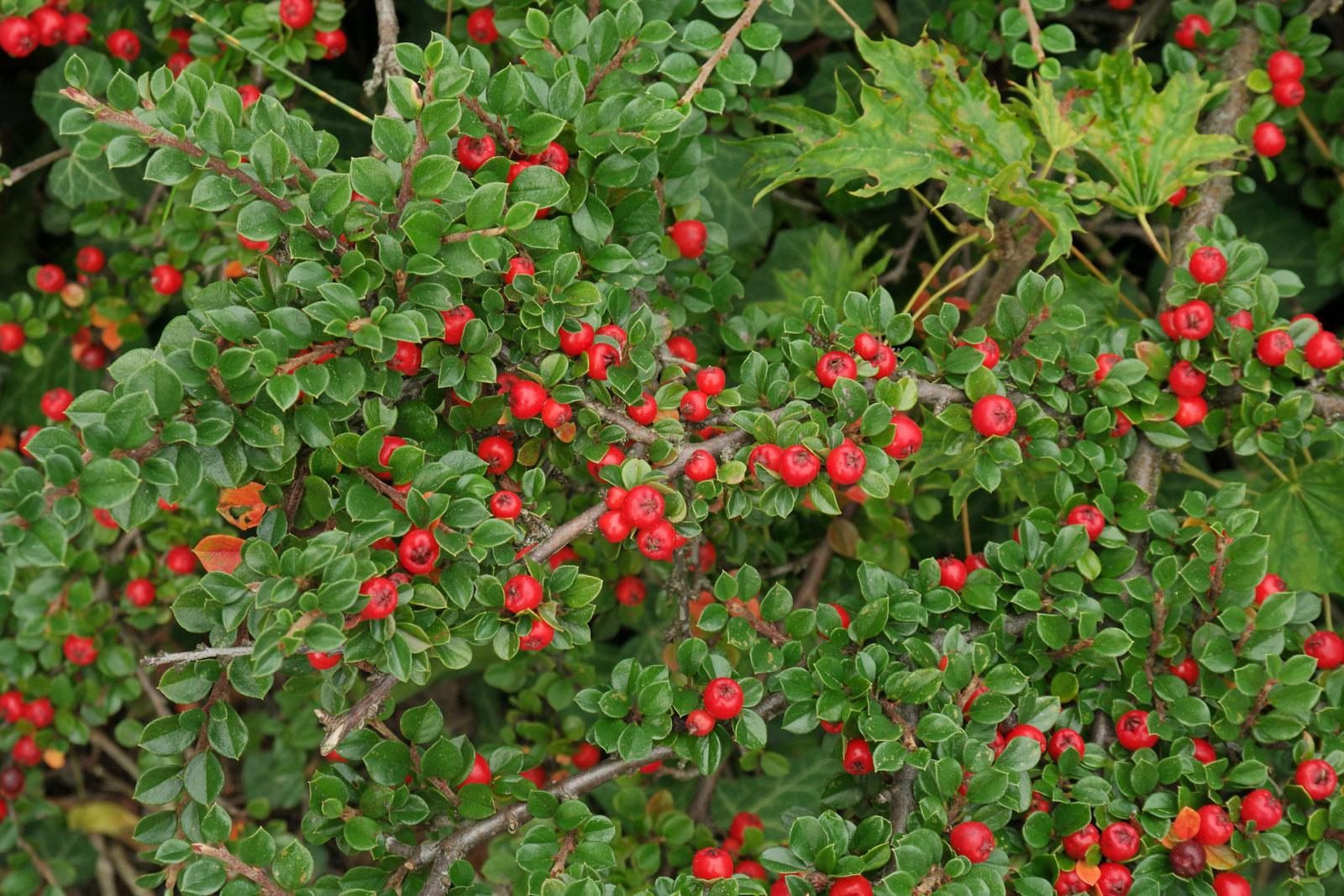 cotoneaster dammeri cv