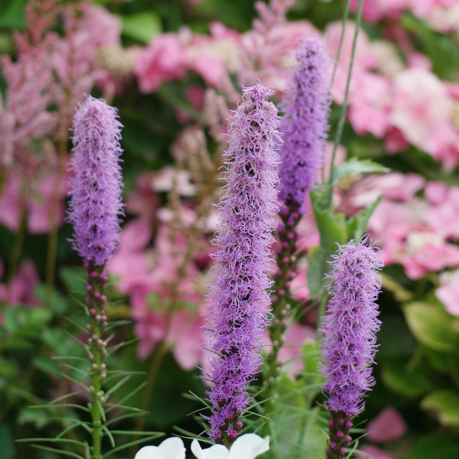 Что за цветок лиатрис 156