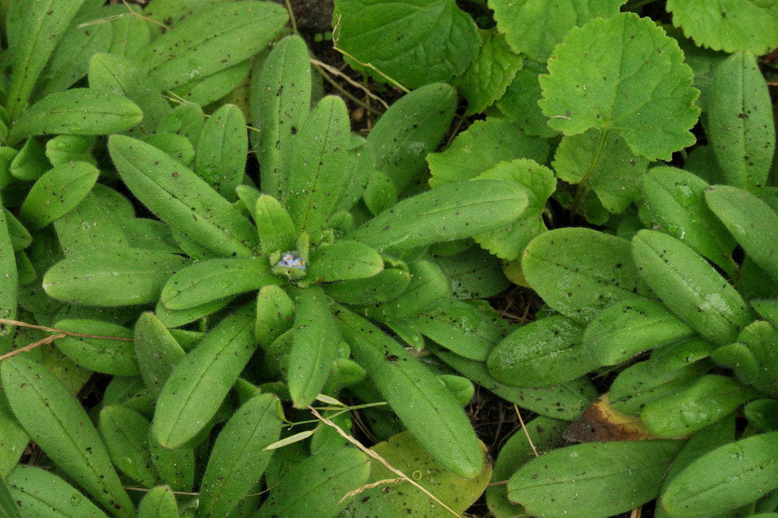Myosotis arvensis