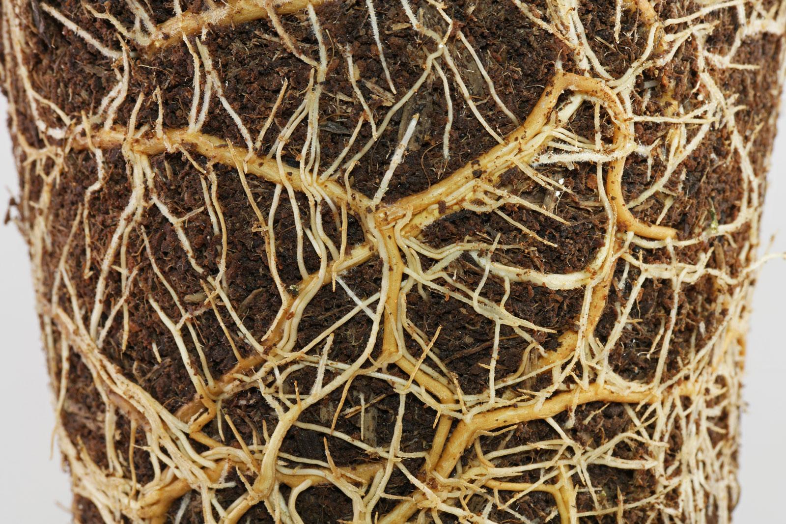 Schefflera arboricola Nora