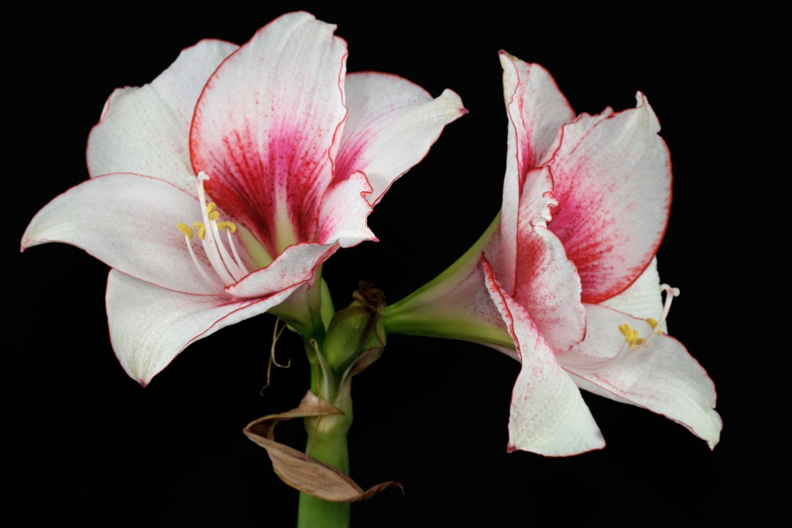 Hippeastrum cv