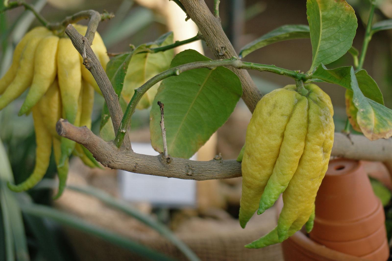 Citrus medica var sarcodactylis
