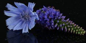 Blått & lila