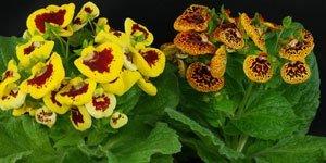 Flerfärgade blommor
