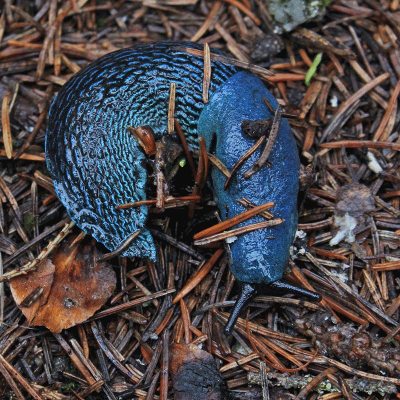 Blue Slug